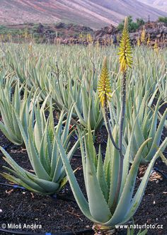 Aloe Vera also described as 'Woman's friend' in Ayurveda. Thus Aloe Vera is very helpful in variety of ladies problems. Irregularity in period, cramps and other painful syndromes, Menopause related problems are helpful in many ways. In men it is shown to remove semen defects