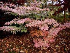 Cornus kousa 'Wolf's Eye' |  has green and white variegated leaves during its main season and turns pink in the fall.