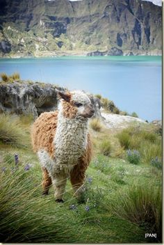Alpaca en Quilotoa, Ecuador