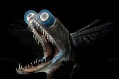 Home / Twitter Fish Face, Deep Sea Creatures, Strange Creatures, Fish Illustration, Fish Drawings, Deep Sea Fishing, Fishing Humor, Tropical Fish, Predator