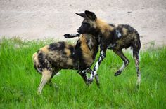 Our guide told us this pack of African Wild Dogs at the Moremi Game Reserve in…