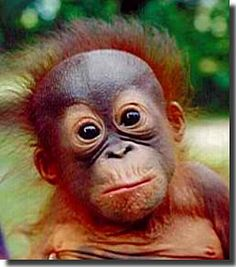 Click here to see adorable baby orangutans!