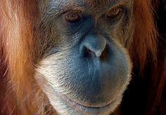 Ground Breaking Court Decision Makes Palm Oil Company Pay $30 Million and Orangutans Smile
