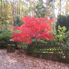 Japanischer Fächerahorn Osakazuki kaufen   Garten-Schlüter