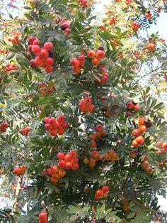 Cormier ou Sorbier domestique (Sorbus domestica L.)