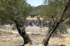Sexta Etapa - Pelotón entre olivos