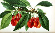 Botanical - Fruit - Cherries on tree