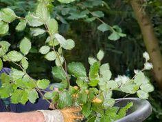 Oksasilppuri on hyvä apu pihan ja puutarhan hoitajalle. Se tekee hankalasti hävitettävistä oksista hyödyllistä katetta.