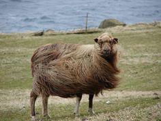 Nordic Thoughts: Gammelnorsk spælsau - Old Norwegian Short Tail Landrace Alpacas, Farm Animals, Cute Animals, Shetland, Baa Baa Black Sheep, Sheep Breeds, Sheep And Lamb, Counting Sheep, Sheep Wool