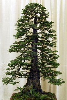bonsai redwood tree (13)