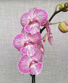 Phalaenopsis Yu Pin Fireworks (Sogo Dove x World Class)