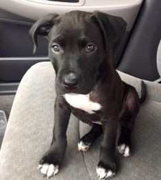 Black pitbull puppy
