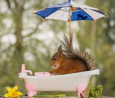 close up of red squirrel in a bathtub under an umbrella in the rain