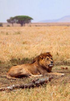 #Tanzania  #serengeti #migration #safari #wildlife #Africa #Tanzania