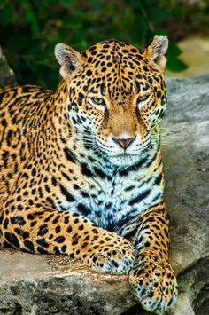 Magnificent Jaguar, By Michael Richards.