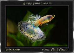 Multi Delta Tail Guppy - Multicolor guppies ideally have 3 or more distinct colors that are equally distributed in the tail.  Each color must have 15% or more of the tail area to be considered a tail color