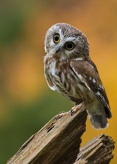 }{ Northern Saw-whet owl. This owl sat on the side window of my vehicle years ago and let me walk up to him.