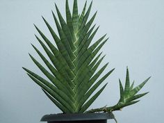 Sansevieria Braided With Trade Name Dragon S Tail Family