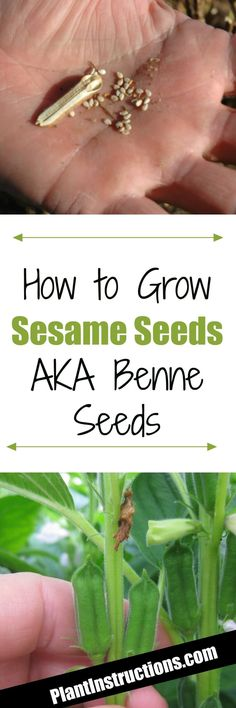How to Grow Sesame Seeds
