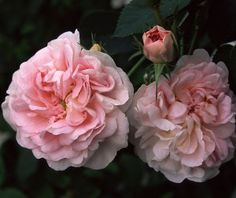This rose, Great Maiden's Blush, delivers an old garden scent that will remind you of your grandma's house.
