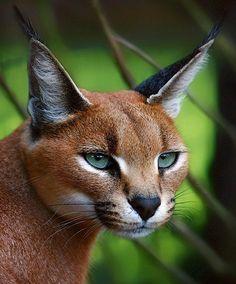 Caracal / African Lynx