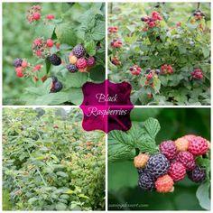 Black Raspberry Cobbler - Saving Room for Dessert Black Raspberry Cobbler, Black Raspberry Recipes, Blackberry, Classic Desserts, Summer Berries, Fruit, How To Make, Sweet Tooth, Room