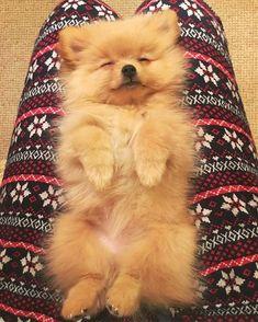 Adorable dozing Pomeranian #pomeranian