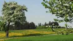 Birnen dieser alten Obstbäume werden zu Most verarbeitet und mit schmackhaften Jausen beim Mostheurigen serviert. Golf Courses, Adventure Tours, Pears, Natural Wonders, Tree Structure, World