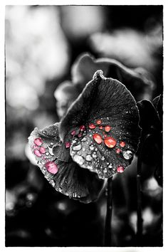Colored Rain on a Black and White Flower.