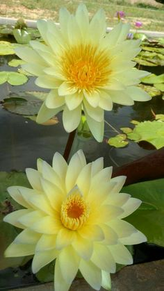 Water Flowers, Flowers Nature, Water Lilies, Exotic Flowers, Amazing Flowers, Yellow Flowers, Pretty Flowers, Lotus Garden, Blossom Garden