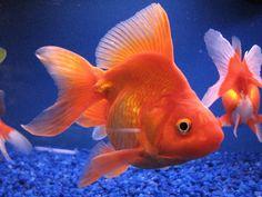 : Freshwater Fancy Goldfish