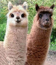 The llama is a South American relative of the camel, though the llama does not have a hump. Typically, they are saddled with loads of 50 to 75 pounds. Under such weight they can cover up to 20 miles in a single day! Cute faces!