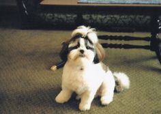 Shih Tzu. Winston at 9 months.  This is one of the most loving breeds of dogs I have ever had.