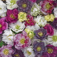 Bloomin Designs Nursery - HELLEBORUS WEDDING PARTY Series - Mixed (20)ct Flat, $186.70 (http://bloomindesigns.com/helleborus-wedding-party-series-mixed-20-ct-flat/)