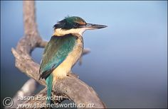 Kotare, or New Zealand Kingfisher - sitting outside on the phone lines looking very cool in its blue and yellow feathers. Beady eyes looking for foods.