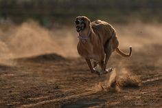 Greyhound race, from the village of punjab, Pakistan Racing Dogs, Greyhound Pictures, Dog Anatomy, Greyhound Art, Grey Hound Dog, Wild Dogs, Dogs Of The World, Dog Photography, Working Dogs