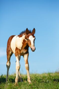 Daily Dose - March 2020 - Baby on Blue - Missouri Fox Trotter Foal O'Brien Photography - All Rights Reserved Baby Horses, Cute Horses, Wild Horses, Baby Animals Super Cute, Cute Animals, Chubby Puppies, Most Beautiful Horses, Horse Drawings, Horse Pictures