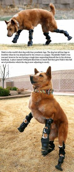 Dog get prosthetic feet after loosing them to being abandoned as a puppy.
