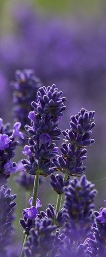 Lovely English lavender in Snowshill, England • photo: Malcolm on Flickr