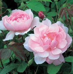 【バラ苗】 モーティマーサックラー 大苗 イングリッシュローズ ER 輸入苗 四季咲き ピンク 強香 強健 バラ 苗 薔薇