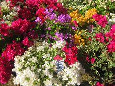 Bambino Bougainvilleas for pots & tubs http://www.gardencreationsbytoni.com.au/?q=sites/default/files/imagecache/product_full/%27Bambino%20Dwarf%27-Bougainvillea%20sp..jpg