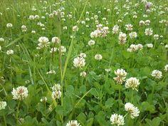 Weißklee oder Kriechklee (Trifolium repens) #Kleinwalsertal. Wird auch wie der Rotklee in der Küche verwendet, wir zeigen es Ihnen nach einer Kräuterwanderung.