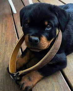 """Outstanding """"Rottweiler dogs"""" information is offered on our site. Check it out and you wont be sorry you did. German Dog Breeds, Giant Dog Breeds, Rottweiler Love, Rottweiler Puppies, Beagle, Cute Puppies, Cute Dogs, Mastiff Puppies, Bulldog Breeds"""