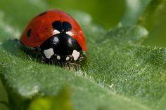 lady bug heart