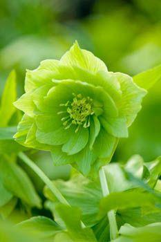 Helleborus X Hybridus Harvington Double Green