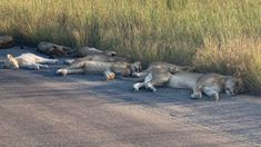 Lions nap on road during South African lockdown. Sooner or later animals were going to notice that the humans had disappeared and in South Africa's Kruger National Park lions have been taking advantage. National Park Lodges, National Parks, Parc National Kruger, Lion Pride, Nocturnal Animals, Wildlife Park, Game Reserve, Wild Dogs, Animals Images