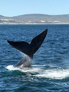 Southern Right Whales visit Hermanus annually, hundreds of whales flock to Walkerbay. Bryde's Whale, Humpback Whale, Whales, Watercolor Fish, Watercolour, Whale Watching Season, School Murals, Africa Travel, South Africa