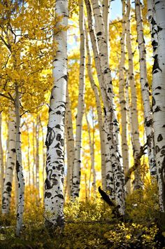 Aspen trees in fall colors outside of Telluride, CO. Aspen trees in fall colors outside of Telluride Tree Photography, Landscape Photography, Landscape Art, Landscape Paintings, Birch Tree Art, Aspen Trees, Autumn Scenery, Fall Pictures, Tree Forest