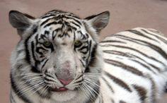 Henry Doorly Zoo white tiger   Henry Doorly Zoo in Omaha Nebraska » White Tiger Henry Doorly Zoo