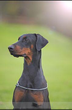 . Art Photography, Dogs, Animals, Doberman, Fine Art Photography, Animales, Animaux, Pet Dogs, Doggies